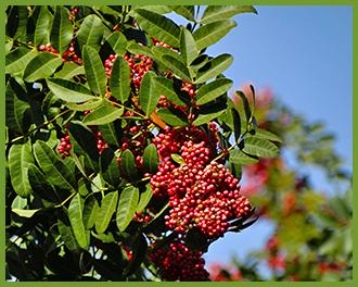 Brazil-Pepper-Seeds.png