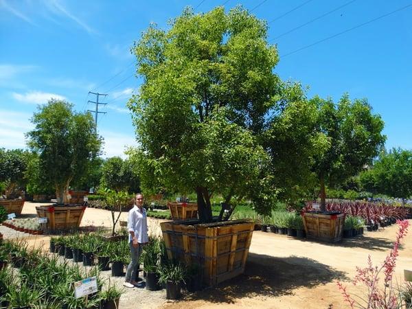 Camphor tree at Moon Valley Nurseries