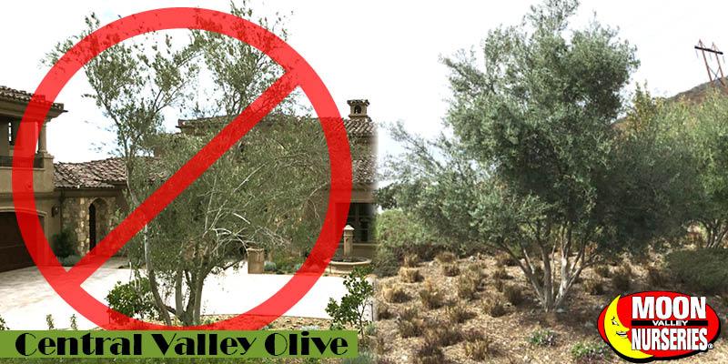 Moon_valley_nursery_superior_olive_tree