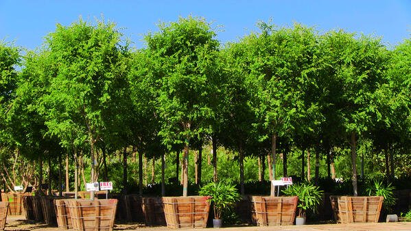 CHINESE ELM ASP RS ROW SHOT
