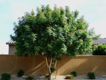 Red Push Chinese Pistache - Chinese Pistachio Tree