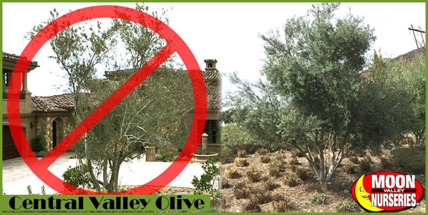 Central-Valley-olives.png