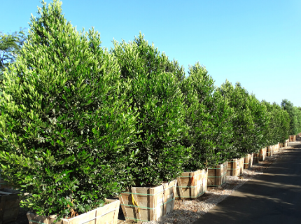 Carolina Cherry Trees for Privacy Hedges