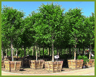 Chinese-Elm-2.png