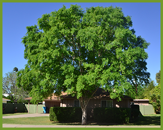 Chinese-elm-1.png