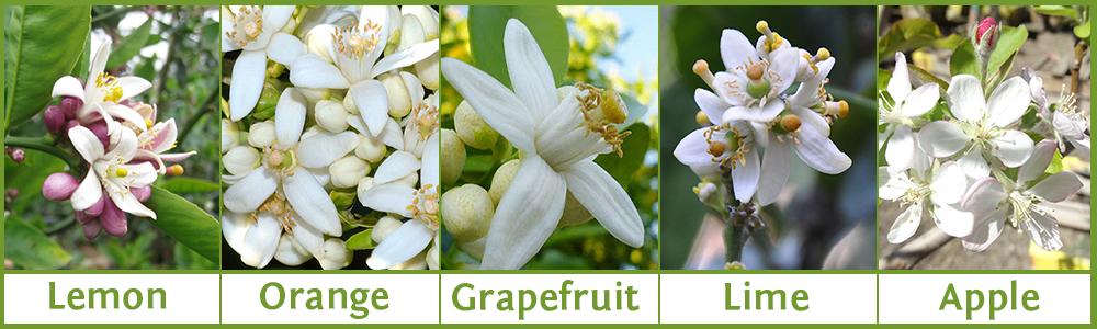 Citrus-Flowers.png