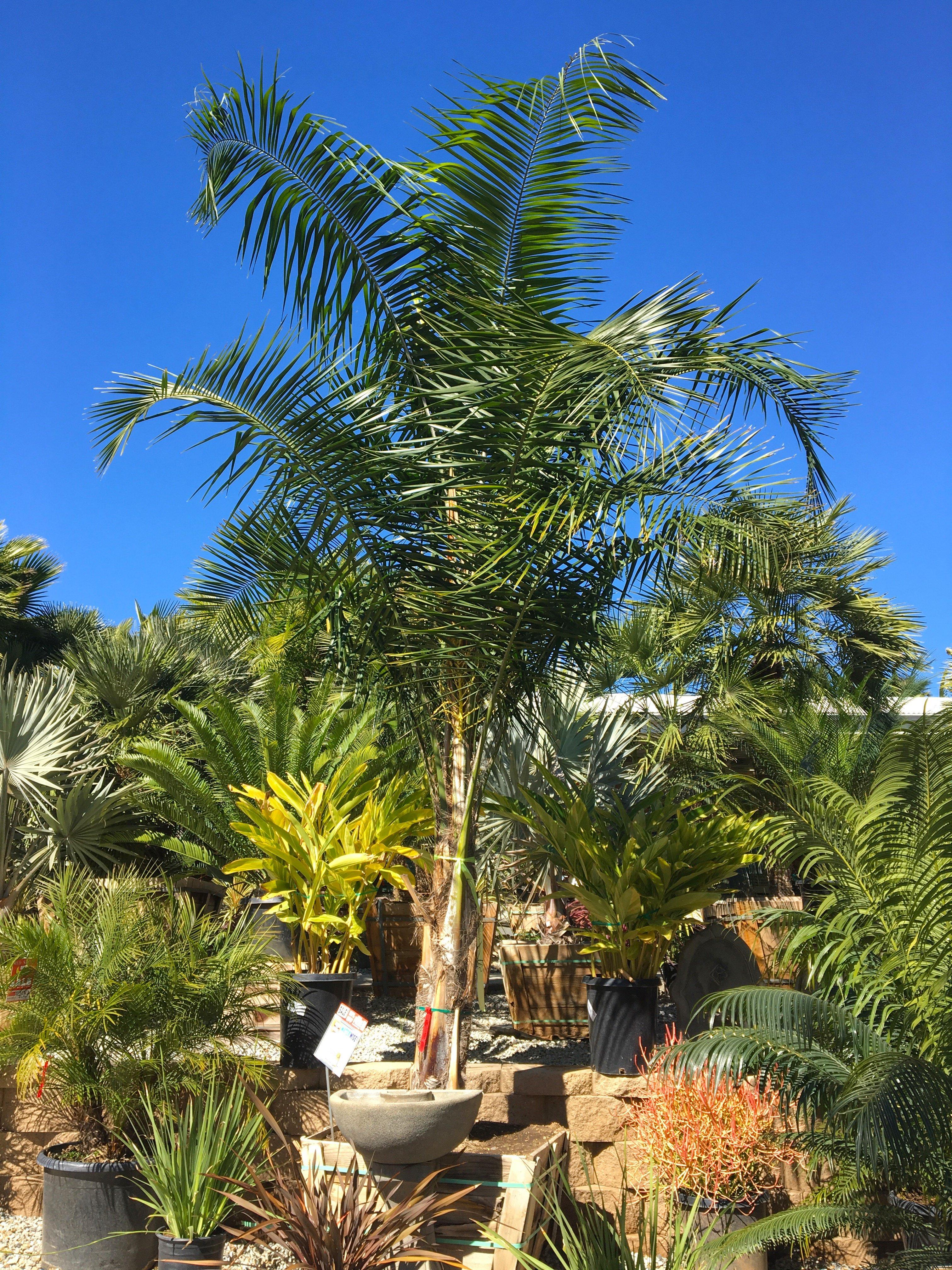 Coconut_Queen_Palm_