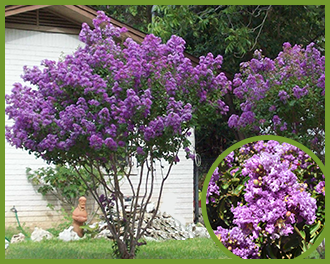 Top trees for purple flowers in spring and summer crape myrtle mightylinksfo