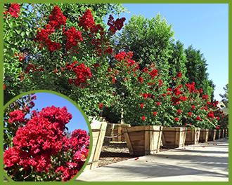 Crape Myrtle red flowering tree