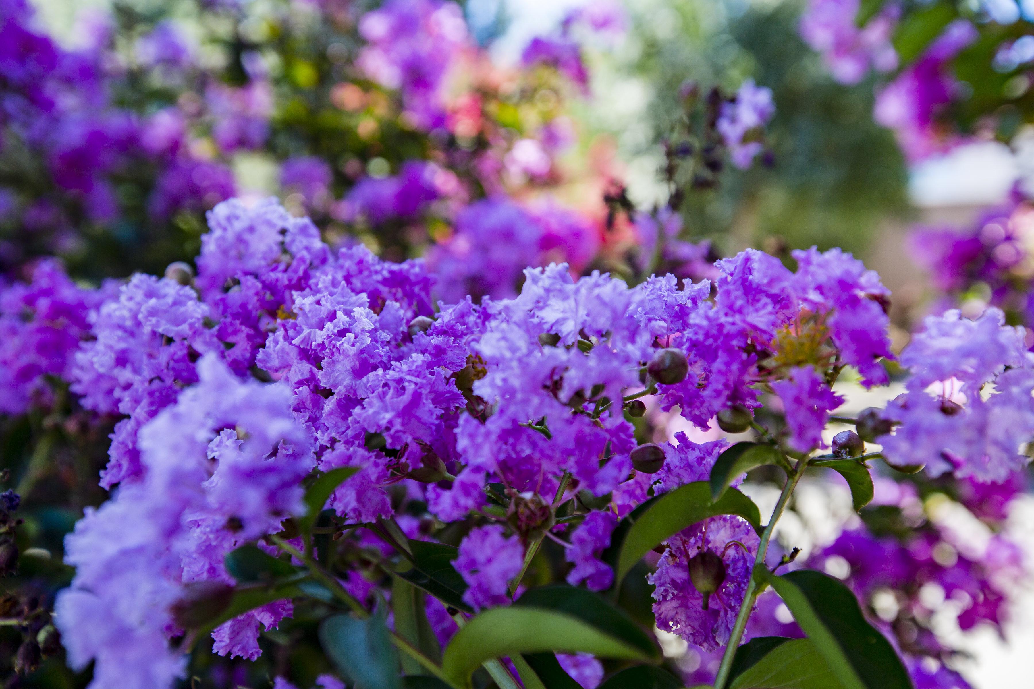 Crape_Myrtle_purple-1.jpg