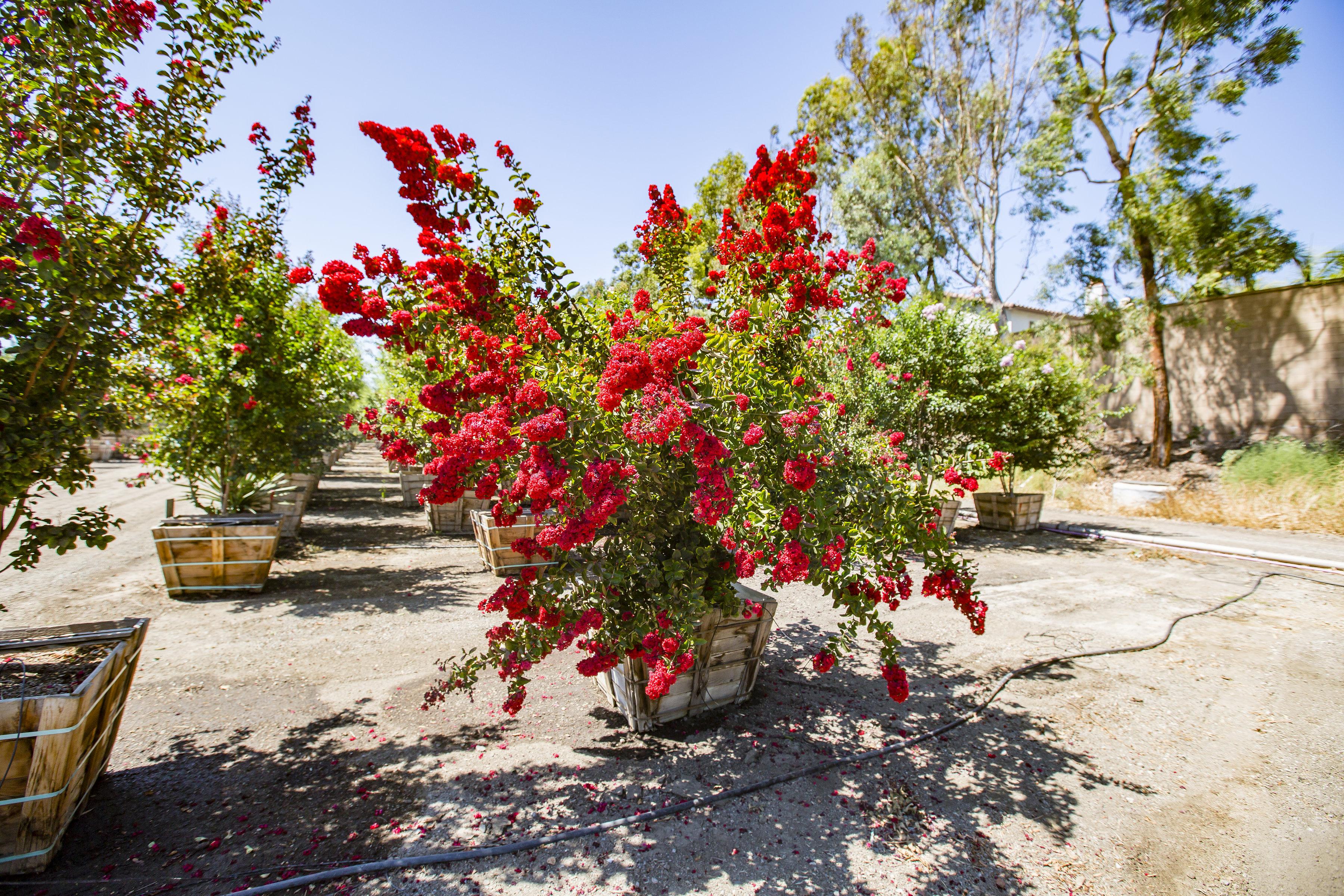 Crape_myrtle_tree_red.jpg