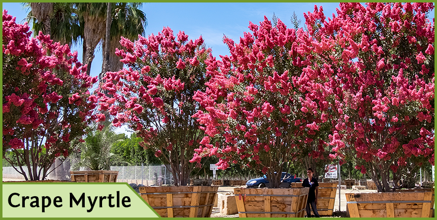 Top trees for pink flowers in spring and summer youll be the envy of the neighborhood crapemyrtleg flowering trees mightylinksfo