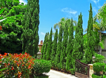 Italian Cypress Trees for Privacy Hedges and Driveway Entrances