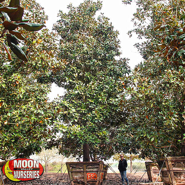 magnolia tree container nursery tree farm
