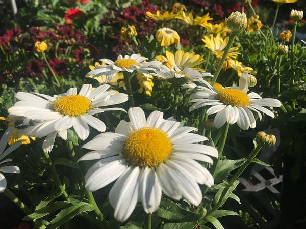 Daisy BEDING PLANTS