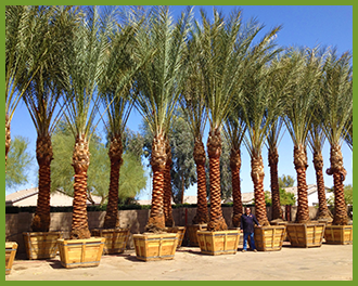 Date-Palm-4.png
