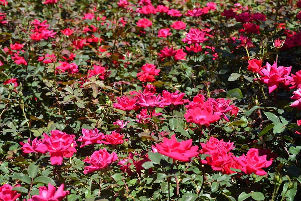 landscape_shrub_roses