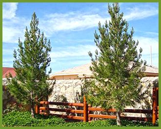 Eldarica-Pine-1.png
