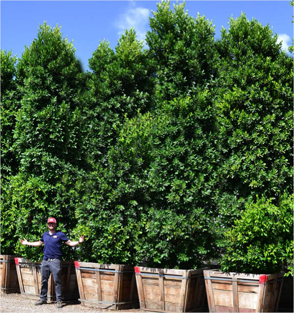 ficus hedge columns in container at nursery