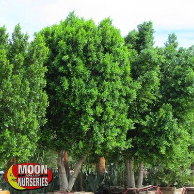 Ficus Nitida trees
