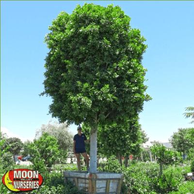 Ficus Nitida-1