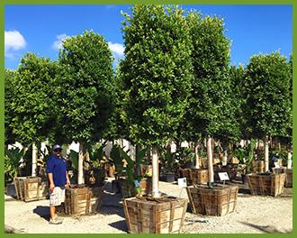 Ficus-10.png