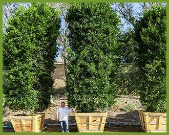 Ficus-2.jpg