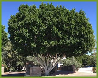 Ficus-7.png
