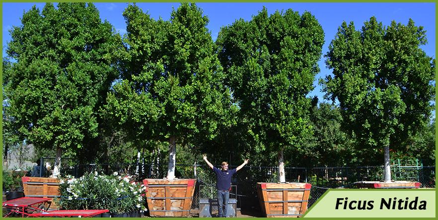 Ficus-9.png