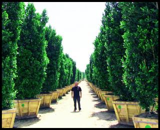 Ficus nitida Indian Laurel Columns