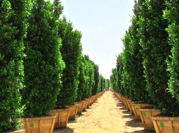 ficus hedge colums