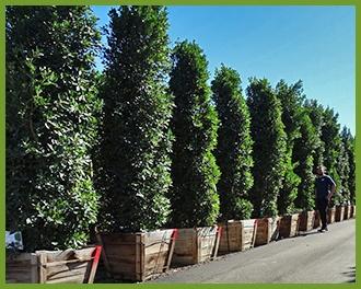 Ficus Jpg