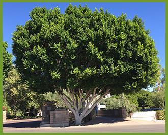 Ficus.png