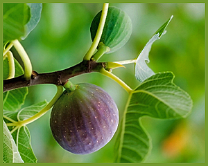 fig on tree branch