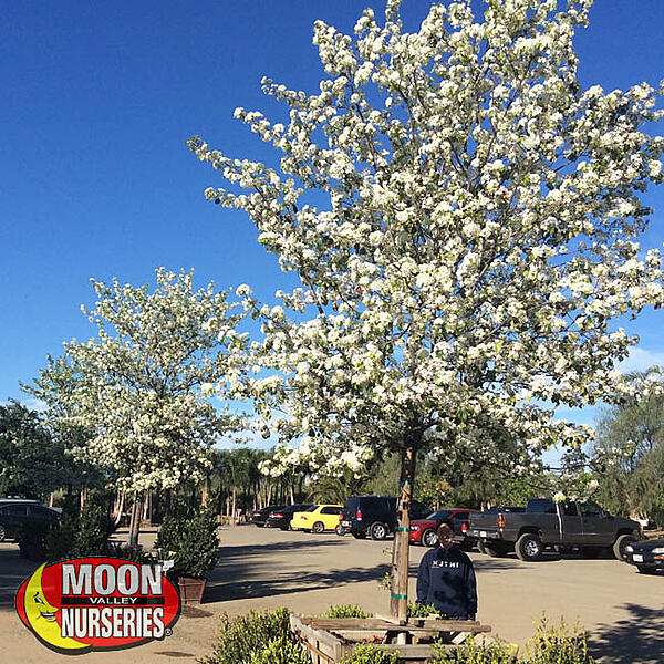 Flowering Pear in container blooming