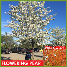 Flowering-Pear-3.png
