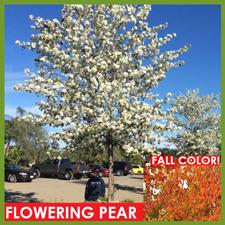 Flowering-Pear-3.png
