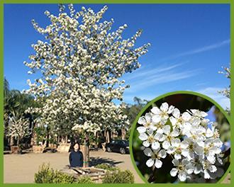 Flowering-Pear-4.png