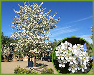 Top trees for white flowers in spring and summer flowering pear 4g mightylinksfo
