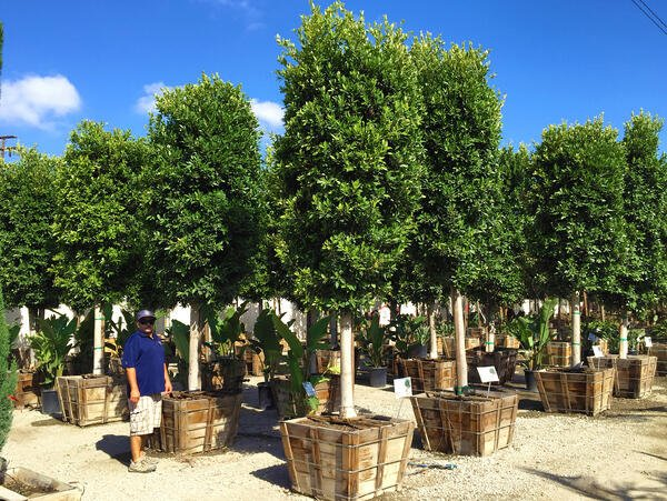 Ficus Nitida standard trees in nursery