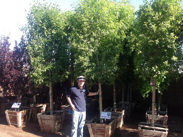 HGE Arizona Ash