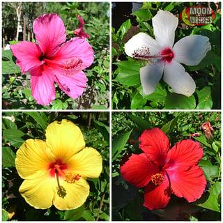 Hibiscus_flowers_