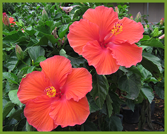 Hibiscus-1-1.png