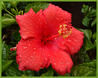 Hibiscus-3.png