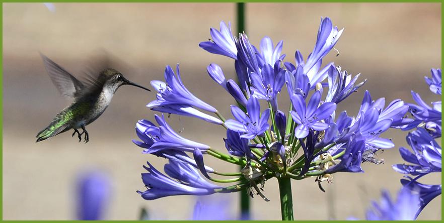 Hummingbird-1.png