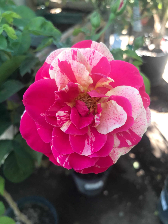 hybrid_tea_rose
