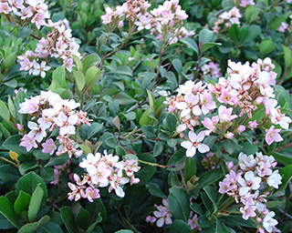 Indian-Hawthorn.png