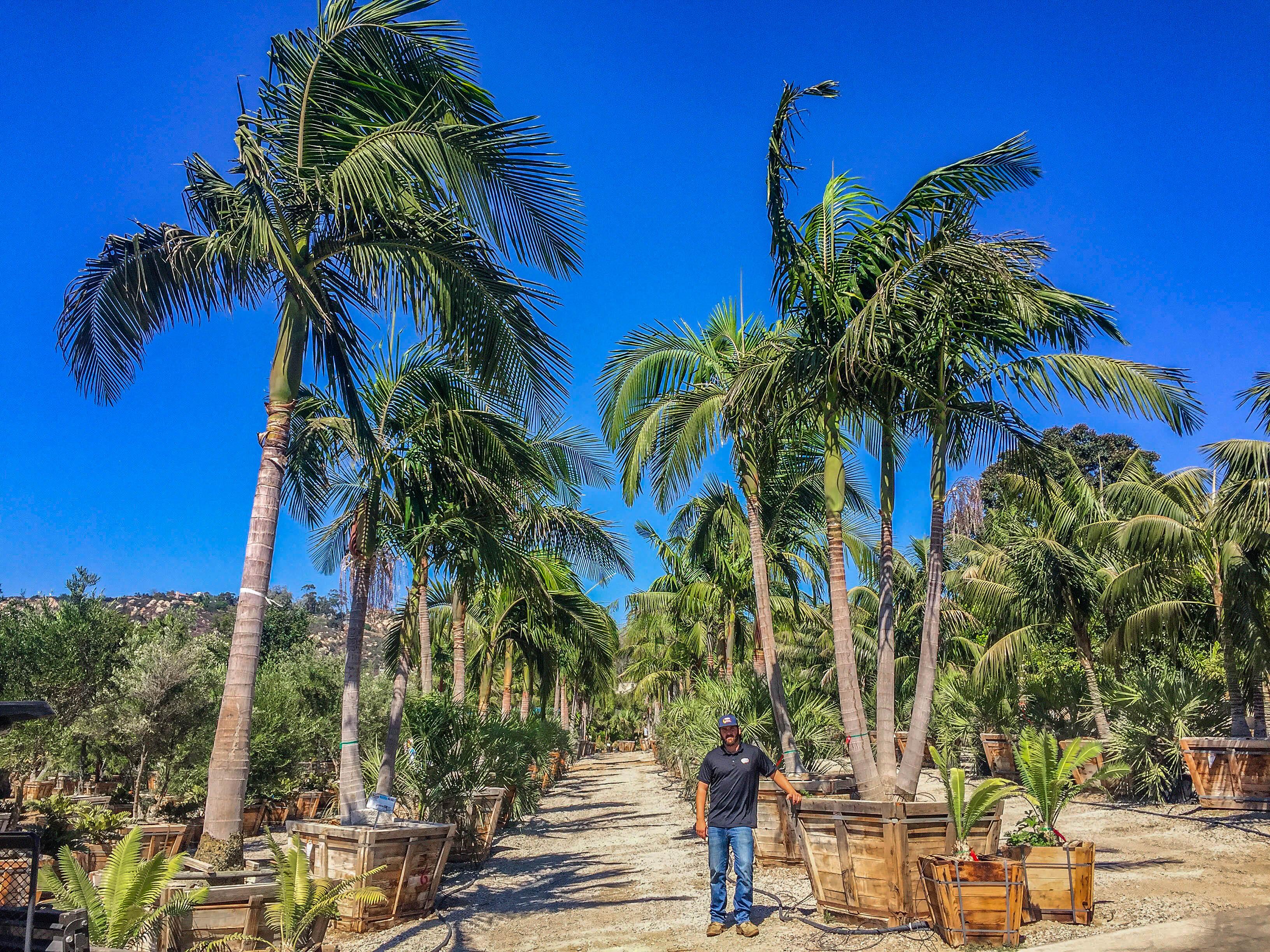king_palms