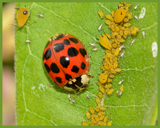 Ladybug_beneficial_insect