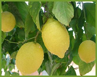 Lemon-1.png